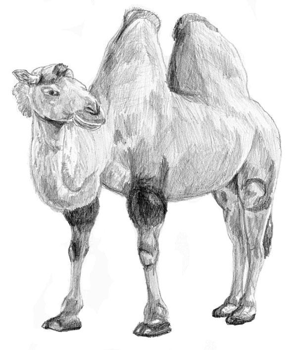 верблюд картинка рисовать можете прикрепить или